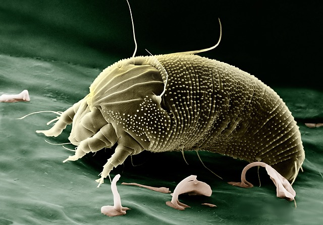 Roztoč zelenej farby pod mikroskop